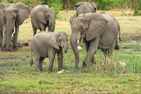 Châu Âu cân nhắc siết luật về ngà voi