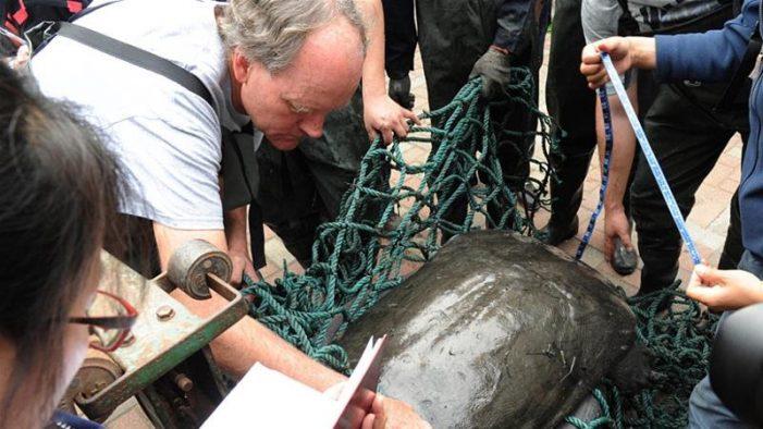 Rùa Hoàn Kiếm ở Trung Quốc chết sau nỗ lực thụ tinh nhân tạo