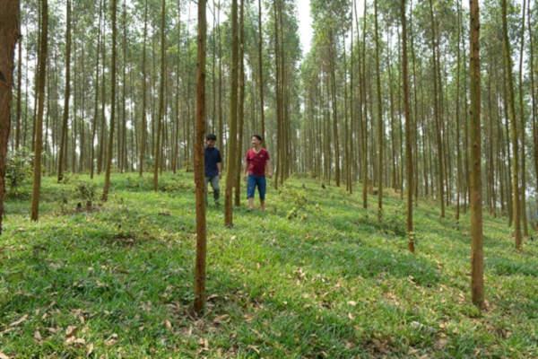 Rừng gỗ lớn: Doanh nghiệp làm trước