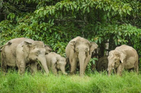 Voi là loài động vật tiếp theo đối mặt với nguy cơ tuyệt chủng ở Malaysia