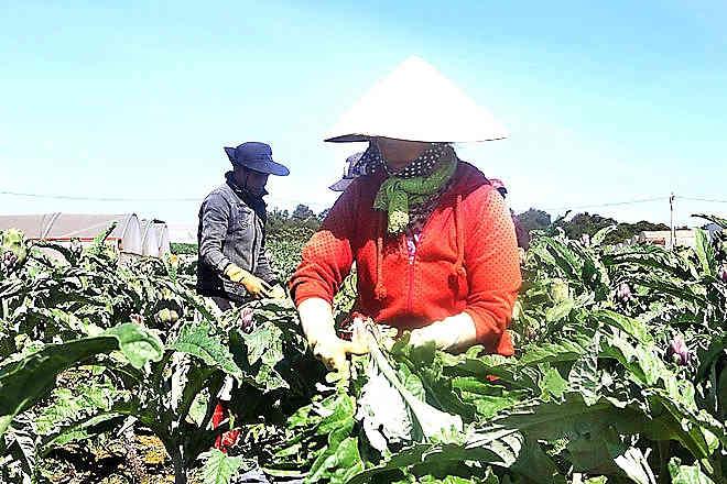 Lâm Đồng: Bà con dân tộc liên kết trồng atisô
