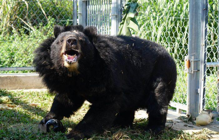 """""""Ngôi nhà"""" giúp hồi sinh những chú gấu bị nuôi nhốt lấy mật"""