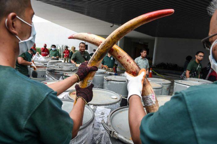 Malaysia hủy gần 4 tấn ngà lậu