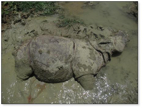 Indonesia mất thêm một cá thể tê giác Java