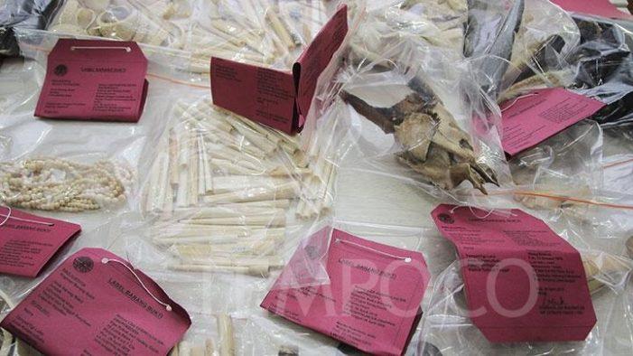 Indonesia bắt 3 đối tượng bán ngà voi qua facebook