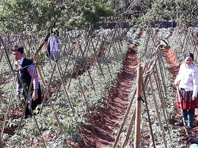 Người Mông trồng rau VietGAP