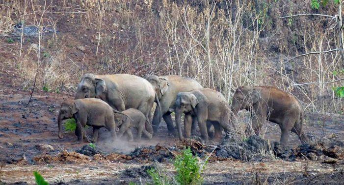 Thái Lan dỡ lệnh cấm xuất khẩu voi