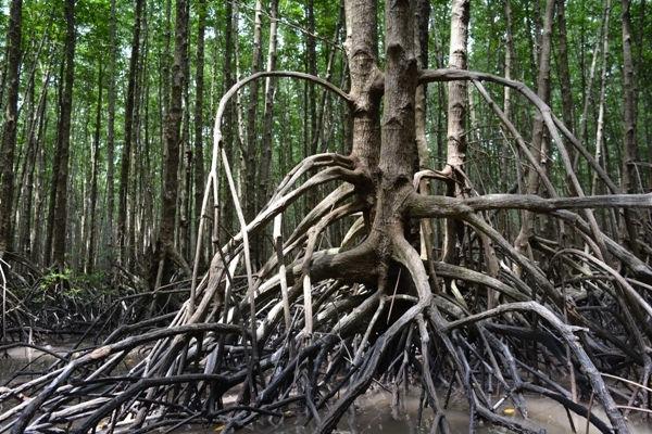Cà Mau: Xác minh vụ kiểm lâm dung túng cho người lạ chặt hạ cây rừng