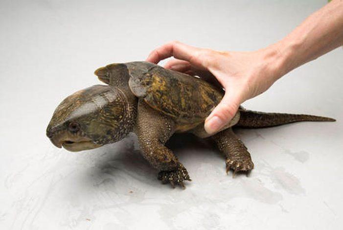 Cấp phép gây nuôi rùa đầu to: Nhiều lỗ hổng