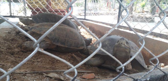 Tịch thu hơn 30 kg rùa nghi là cá thể quý hiếm ở một quán cà phê