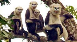 Bảo tồn loài voọc mũi hếch ở Hà Giang