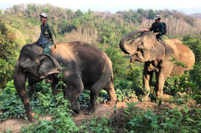 Hối hả cứu biểu tượng của đất nước triệu voi