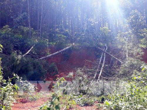 Lâm Đồng: Khởi tố vụ án hủy hoại hàng nghìn cây thông