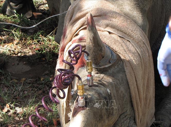 Tiêm thuốc độc vào sừng để… cứu 700 con tê giác