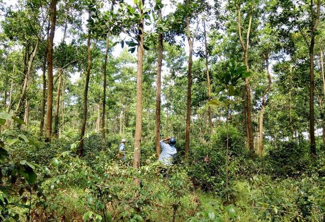 Gỡ nút thắt, nhân rộng rừng trồng FSC ở Quảng Trị