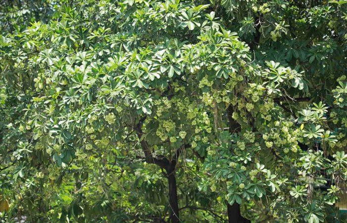 Hoa nở trái mùa: Chuyên gia lý giải