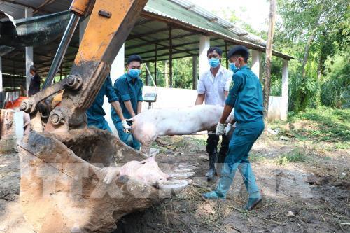 Bình Phước: 87 ổ dịch tả lợn châu Phi, hàng nghìn con lợn bị tiêu hủy