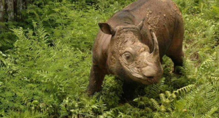 Tê giác Sumatra đực cuối cùng của Malaysia cận kề cửa tử