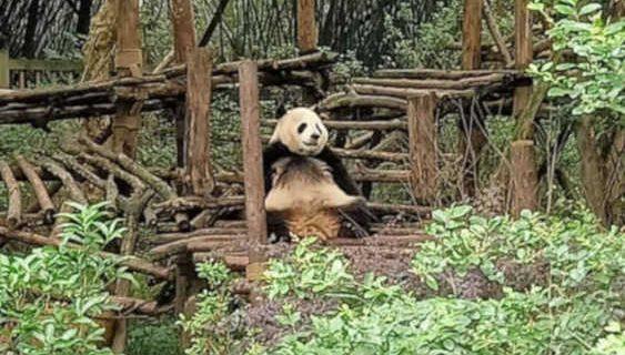 Khám phá Trung tâm Bảo tồn gấu trúc lớn nhất Trung Quốc