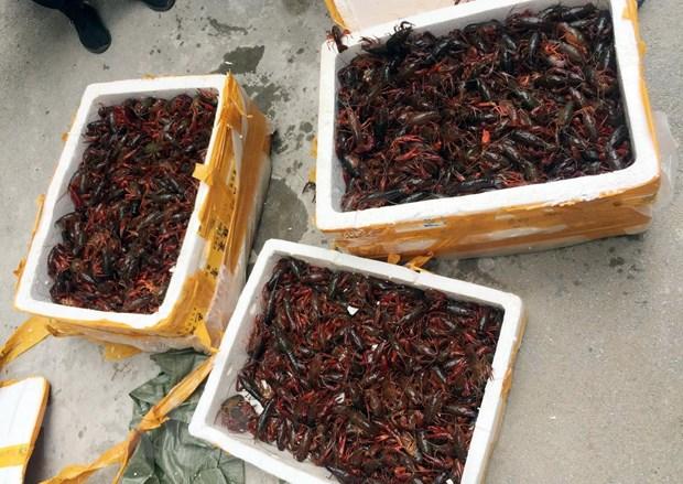 Lạng Sơn: Phát hiện xe khách chở gần 50 kg tôm hùm đất nhập lậu