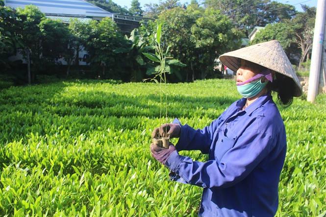 Quảng Trị: Mới có 3/15 dự án nộp tiền trồng rừng thay thế