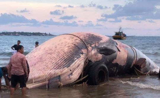 """Bình Thuận: Một """"cá Ông"""" khổng lồ lụy bờ"""