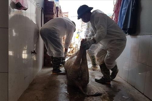 52 tỉnh thành có dịch tả lợn Châu Phi