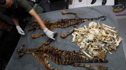 Mối đe dọa rửa riền từ buôn lậu động vật hoang dã