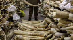 Zimbabwe cân nhắc rút khỏi CITES vì muốn bán kho ngà 300 triệu USD