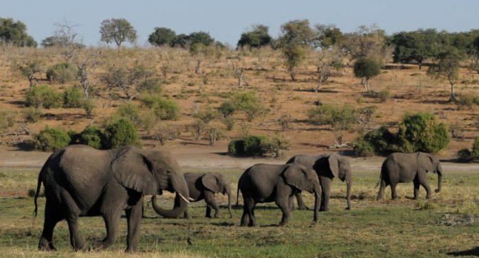 Muốn giảm săn trộm voi, cần giảm nghèo và giảm tham nhũng