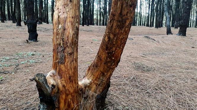 Người đứng đầu phải chịu trách nhiệm khi rừng thông bị cạo vỏ