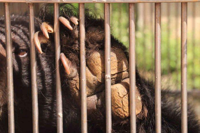 Cứu hộ thành công gấu ngựa bị nuôi nhốt 10 năm ở Lạng Sơn