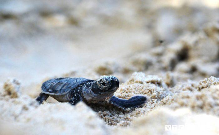"""Hành trình xúc động đưa trứng rùa biển từ Côn Đảo về Cù Lao Chàm ấp nở của """"vua rùa"""""""