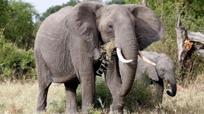 Quần thể voi và tê giác tại Tanzania hồi phục