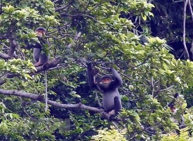 Quảng Nam sẽ thành lập Khu bảo tồn loài sinh cảnh vọoc chà vá chân xám