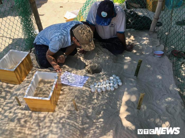 Hành trình độc đáo chuyển loài rùa khổng lồ quý hiếm của đại dương về Cù Lao Chàm