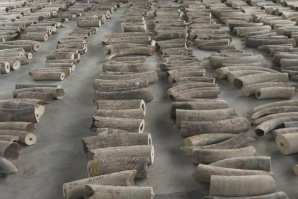 Singapore thu hơn 20 tấn ngà voi và vảy tê tê trị giá 66 triệu USD