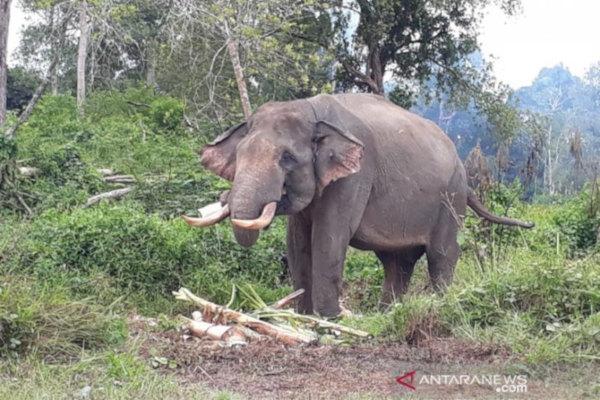 Mất sinh cảnh gây ra xung đột giữa người và voi Sumatra