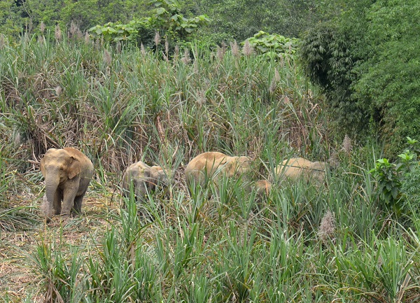 Nghệ An: Khẩn cấp bảo tồn đàn voi rừng