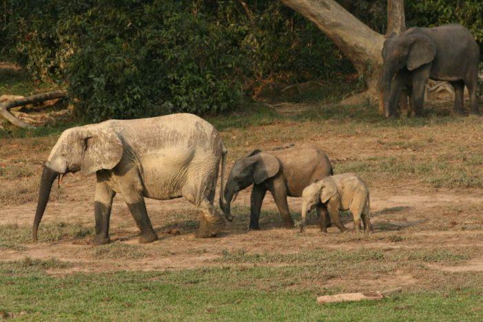 Suy giảm voi rừng châu Phi có thể làm tăng CO2 trong khí quyển