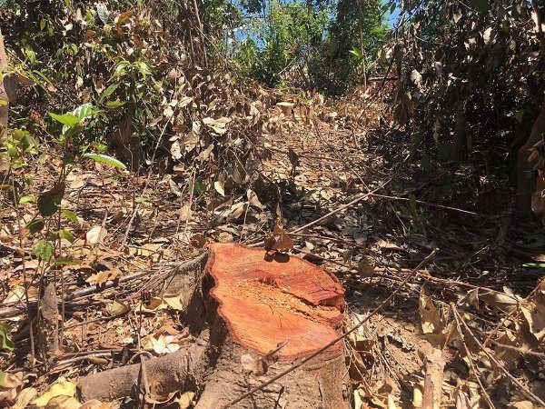 """Quảng Bình: Hàng chục ha rừng phòng hộ Quảng Trạch bị """"xẻ thịt"""""""