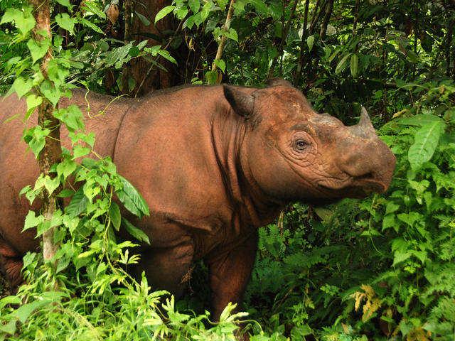 Malaysia và Indonesia hợp tác cứu tê giác Sumatra
