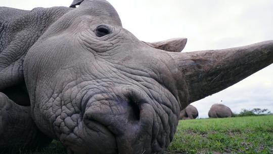 Hối hả cứu tê giác trắng