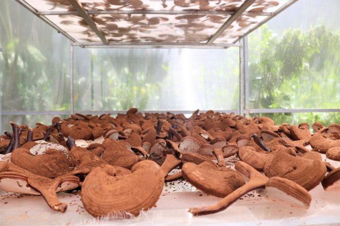 Nông dân trồng nấm linh chi qua điện thoại