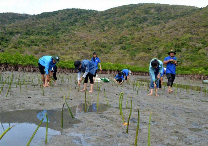 Trồng hơn 10 ngàn cây đước phục hồi rừng ngập mặn vịnh Nha Trang