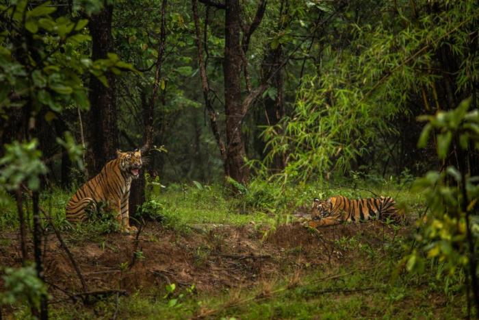 Ấn Độ: Hổ hoang dã tăng vọt dù vẫn xung đột với con người
