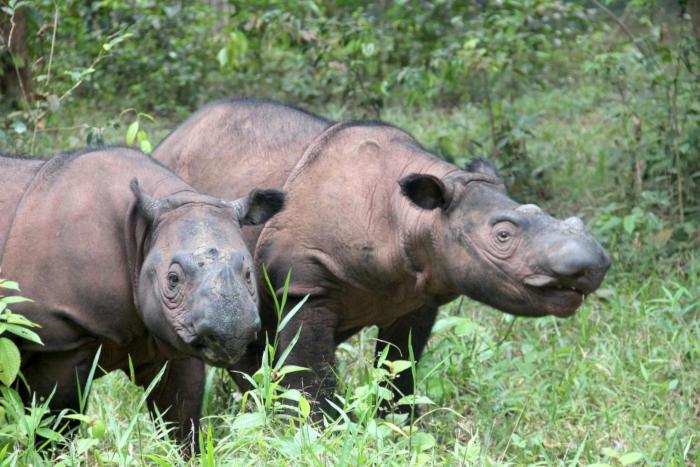 Indonesia đồng ý cứu tê giác Sumatra bằng IVF