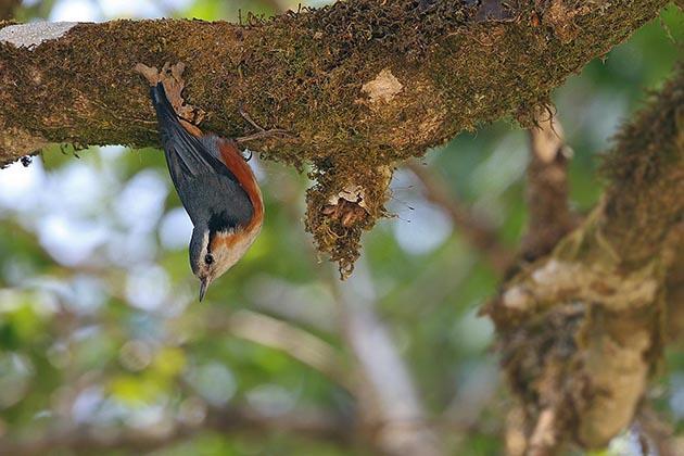 9 loài chim đặc hữu Myanmar đối mặt nguy cơ tuyệt chủng