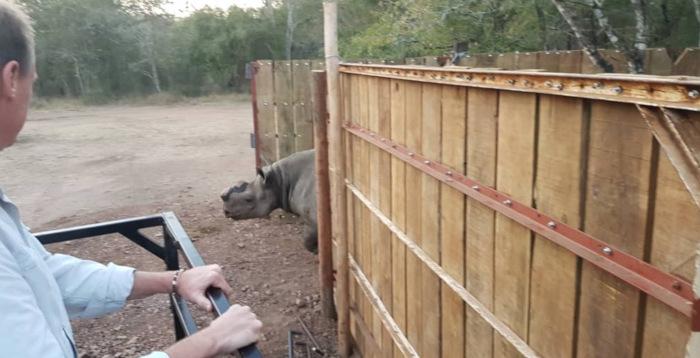 Chuyển 16 cá thể tê giác đen từ Nam Phi sang Eswatini