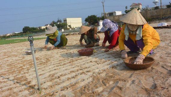 Rủi ro cao từ việc gom mua đất nông nghiệp cao gấp 20 lần ở Lý Sơn